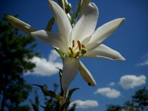 Vit lilja och blå himmel Royaltyfri Foto
