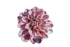 Vit-lilor för krysantemummorifoliumblomma, isolering Royaltyfria Foton