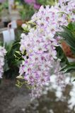 Vit-lilor orkidér Royaltyfri Fotografi