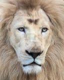 Vit Lion Royaltyfria Bilder