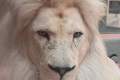 Vit lionstående Royaltyfria Foton