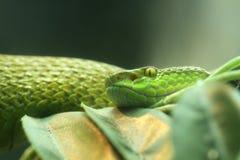 Vit-lipped Pit Viper, orm arkivfoto