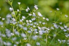 Vit liten blomma Royaltyfria Bilder
