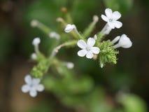 Vit liten blomma Royaltyfri Bild