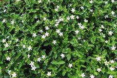 Vit liten blommabakgrund Royaltyfri Bild