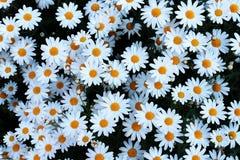 Vit liten blommabaksidajordning fotografering för bildbyråer