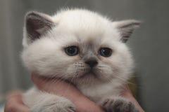 Vit liten förskräckt kattunge i kvinnliga händer royaltyfri bild