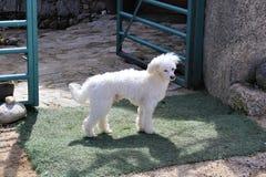 Vit liten hund på dörren Fotografering för Bildbyråer