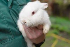 Vit liten kanin i hand Arkivbilder