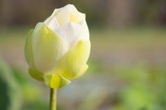 Vit lotusblomma är blommande i sjön Arkivfoto