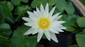 Vit lotusblomma arkivbild