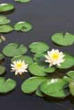 Vit lotusblomma fotografering för bildbyråer