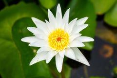 Vit lotusblomma Royaltyfria Foton