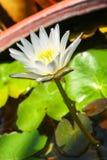 Vit lotusblomma Arkivfoton