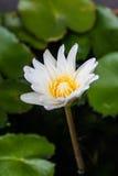 Vit lotusblomma arkivfoto