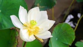 Vit lotusblomma Royaltyfria Bilder