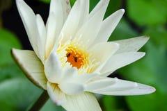 Vit lotusblomma Royaltyfri Bild