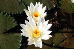 Vit lotusblomma arkivbilder