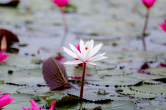 Vit lotusblomma bland röd lotusblomma Arkivfoto
