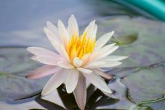 Vit lotusblomma eller näckros i dammet Arkivbilder