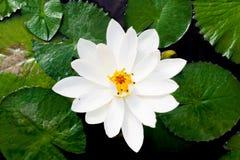 Vit lotusblomma eller vitnäckros Arkivbilder