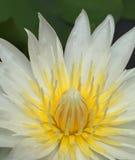 Vit lotusblomma för Closeup fotografering för bildbyråer