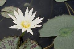Vit lotusblomma för härlig blom i dammet Royaltyfri Fotografi
