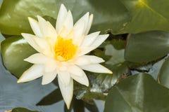 Vit lotusblomma royaltyfri fotografi