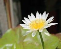Vit lotusblomma i damm lotusblommablommor i dammet är oavkortad blom Arkivbild