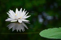 Vit lotusblomma i dammet Arkivbild