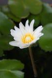 Vit lotusblomma i dammlodlinjen royaltyfri bild