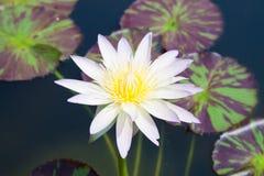 Vit lotusblomma i lagun arkivbilder
