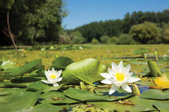 Vit lotusblomma i sjön Arkivbilder