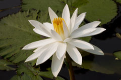 Vit lotusblomma i solsken arkivbilder
