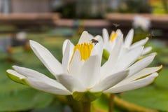 Vit lotusblomma med bin Arkivbilder