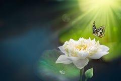Vit lotusblomma med morgonljus- och flygfjärilar Lotus blommor föreställer buddism royaltyfri fotografi