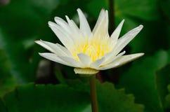 Vit lotusblomma. Naturflod Thailand Royaltyfri Foto