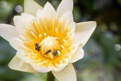 Vit lotusblomma och bin inom arkivbild