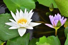 Vit lotusblomma och lilor Lotus Arkivfoton