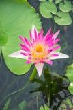 Vit lotusblomma och vatten Royaltyfria Foton