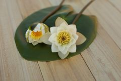 Vit lotusblomma två på ett grönt blad nytt valt vita tulpan för blomma för bakgrundssammansättningsconvolvulus På träbakgrund royaltyfri bild