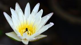 Vit lotusblomma waterlily med biet som inom d?ljer royaltyfria foton