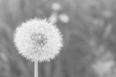 Vit luddig blowball i svartvitt arkivbild