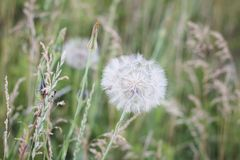 Vit luftmaskrosnärbild på en bakgrund av grön vegetation royaltyfri fotografi