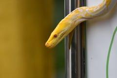 Vit mönstrad albinoorm eller ljust - gult motiv royaltyfria foton