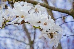 Vit magnolia Arkivbilder