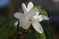 Vit magnolia Arkivbild