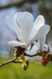 Vit magnolia Arkivfoton