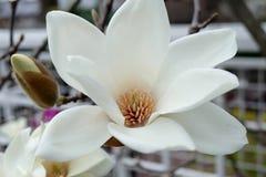 Vit magnolia Arkivfoto