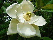 Vit magnolia Royaltyfri Bild